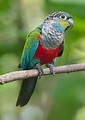 Crimson Belly Conure
